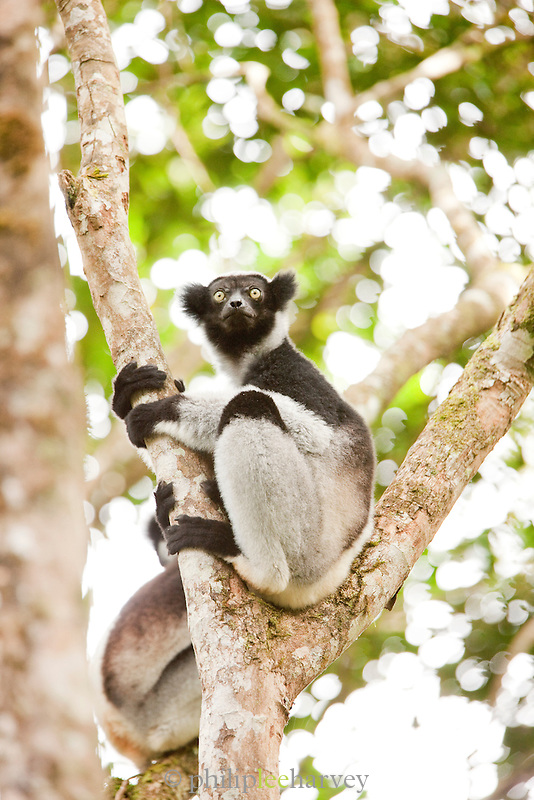 An Indri, one of the largest species of lemur, in Andasibe-Mantadia National Park, Madagascar