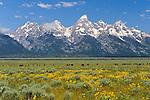 Bison grazing among wildflowers in Grand Teton National Park, Wyoming.