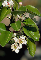 Close up of a blossom on a Bartlett pear tree. Arizona.