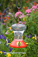 01162-12518 Ruby-throated Hummingbirds (Archilochus colubris) at feeder near flower garden,  Marion Co.  IL
