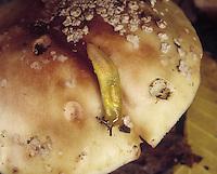 Lemon Slug - Limax tenellus