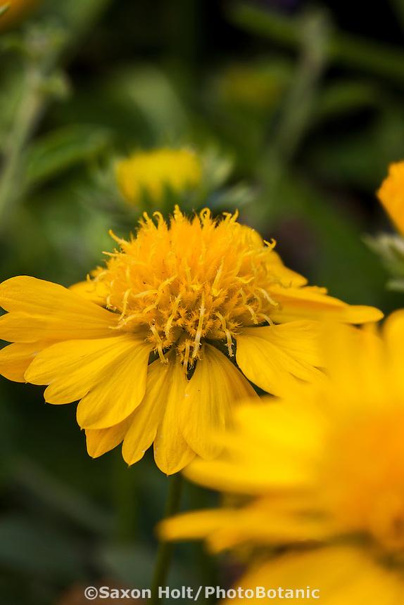 Gaillardia x grandiflora, yellow flowering perennial pollinator plant; Frey Garden