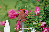 01530-16714 Northern Cardinal (Cardinalis cardinalis) male on picket fence near rose bush, Marion Co. IL