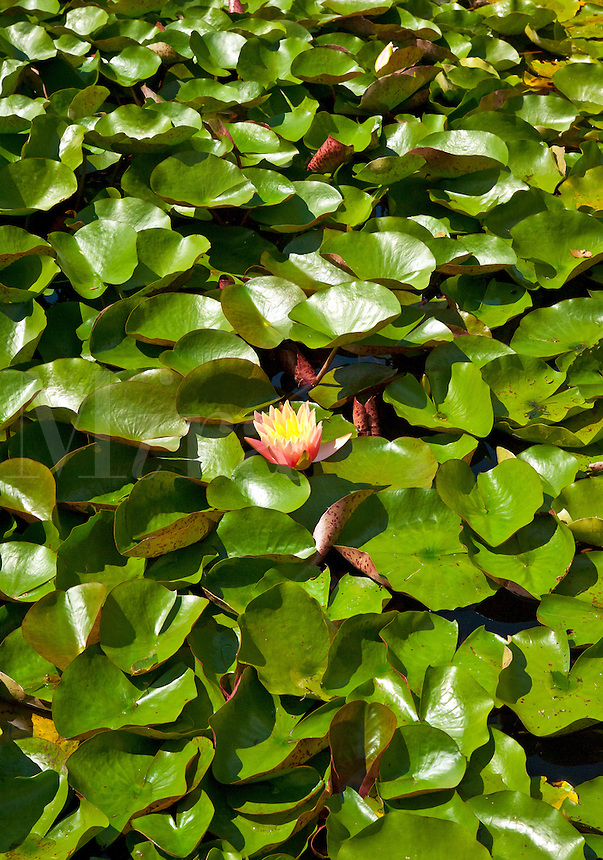 Flowering water lilly in a water garden.