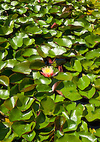 Flowering water lilly in a water garden.
