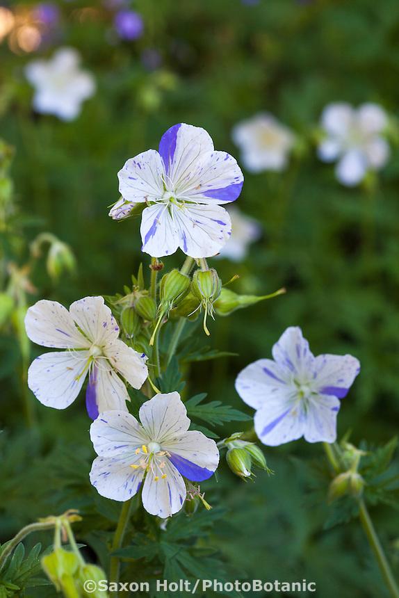Geranium Pratense 'Striatum' 'Splish Splash'  perennial flower in Robin Parer Garden