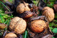 Fresh Walnuts fallen from a tree