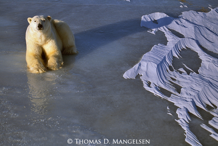 A polar bear lays on the ice in the sun in Wapusk National Park, Manitoba, Canada.
