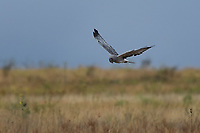 Male Northern Harrier Hunting, Kansas roadside