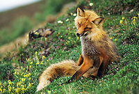 Red fox on summer tundra, Denali National Park, Alaska