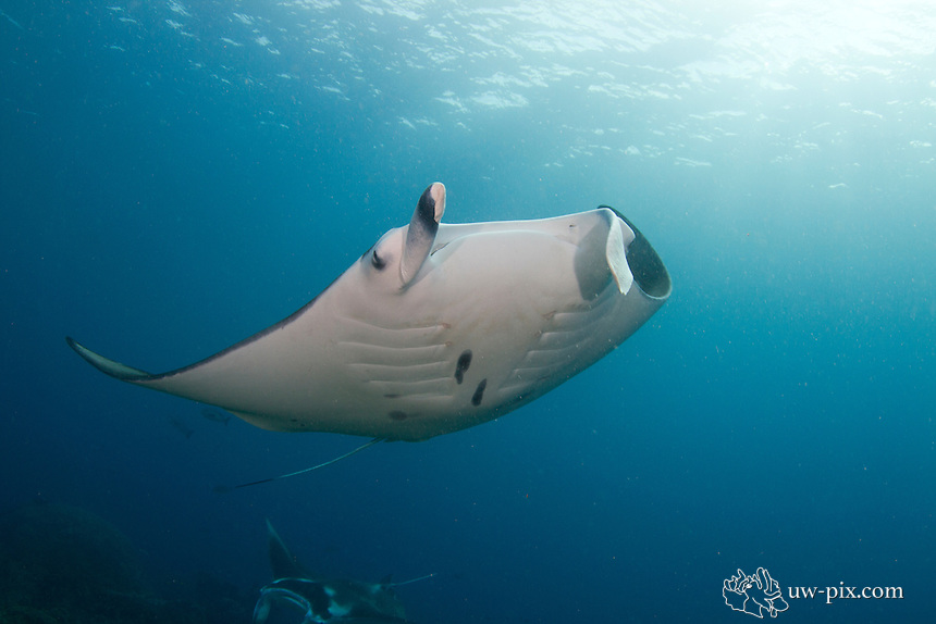 Manta ray, Manta alfredi, former birostris at a cleaning station in Raja Ampat - south Misool. <br />