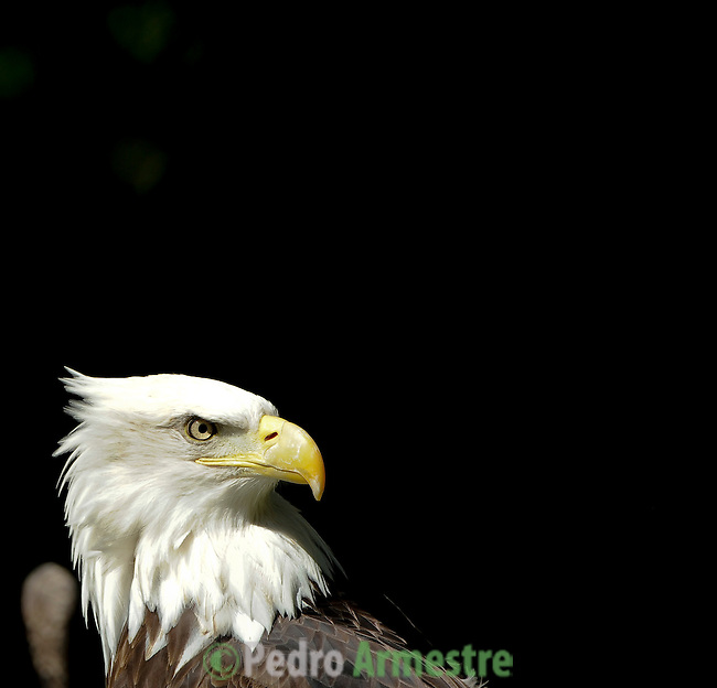 SPAIN, Madrid : A eagle is pictured in his enclosure at Madrid's Zoo on April 14, 2011. Eagle is the name given to the largest predatory birds. The various species and subspecies of eagles can be found almost anywhere in the world except Antarctica. (c) Pedro ARMESTRE