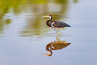 The road in Las Salinas Wildlife Refuge is often flooded during the rainy season, giving rise to a channel-like mud flat for wading birds like this juvenile Tricolored Heron (Egretta tricolor). Zapata Peninsula, Cuba.
