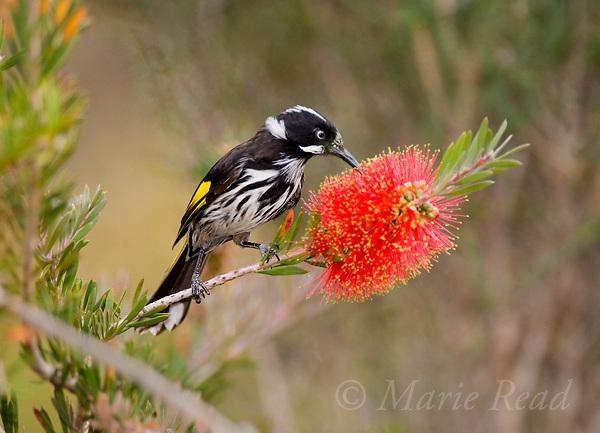 New Holland Honeyeater (Phylidonyris novaehollandiae), feeding on bottlebrush (Callistemon sp.) flower, Kangaroo Island, Australia