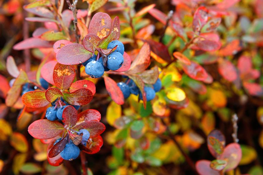 Bog bilberry (Vaccinium uliginosum), Poland