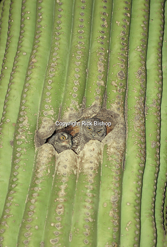 Young Western Screech Owl's seen at night, nested in a Saguaro Cactus in southern Arizona.