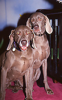 William Wegman &amp; Weimaraners 1994 by <br />
