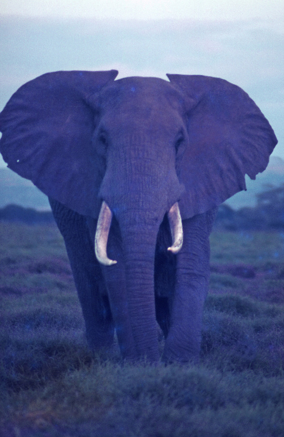 African wildlife, elephant, in Marsabit National Park, Kenya, poses in violet  evening light with ears out and with large tusks