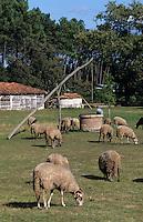 Europe/France/Aquitaine/40/Landes/Parc Naturel Régional des Landes de Gascogne/Marquèze (écomusée de la Grande Lande) /Sabres: Moutons en pature et puit à balancier