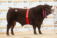 English Premier Show & Sale March 2019 <br /> Newark Livestock Market. Lincoln Red Show & Sale<br /> Lot 75 Senior Champion Brackenhurst Wizzkid owned by Nottingham Consultants Ltd sold for 3000gns<br /> ©Tim Scrivener Photographer 07850 303986<br />      ....Covering Agriculture In The UK....
