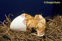 DG02-002x  Chicken - embryology, chick just hatched from egg, still wet
