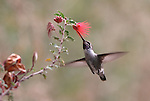 Costa's hummingbird on Baja Fairy Duster