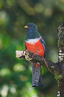 Collared Trogon, Trogon collaris, male perched, Bosque de Paz, Central Valley, Costa Rica, Central America