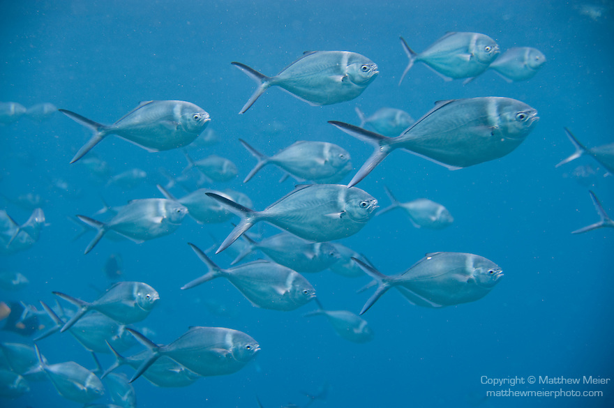 Santa Fe Island, Galapagos, Ecuador; a polarized school of Steel Pompano (Trachinotus stilbe) fish swimming in the blue water , Copyright © Matthew Meier, matthewmeierphoto.com All Rights Reserved