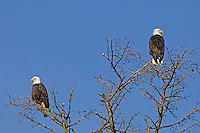 Bald Eagles perched at Padilla Bay, Washington