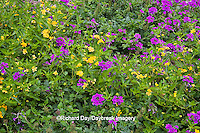 63821-19817 Flower garden with Homestead Purple Verbena (Verbena canadensis) & New Gold Lantana (Lantana camara) Marion Co. IL