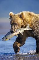 A Kodiak grizzly bear (Ursus arctos middendorffi) catches a salmon, Hallo Bay