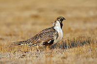 Greater Sage-Grouse - Centrocerus urophasianus - male