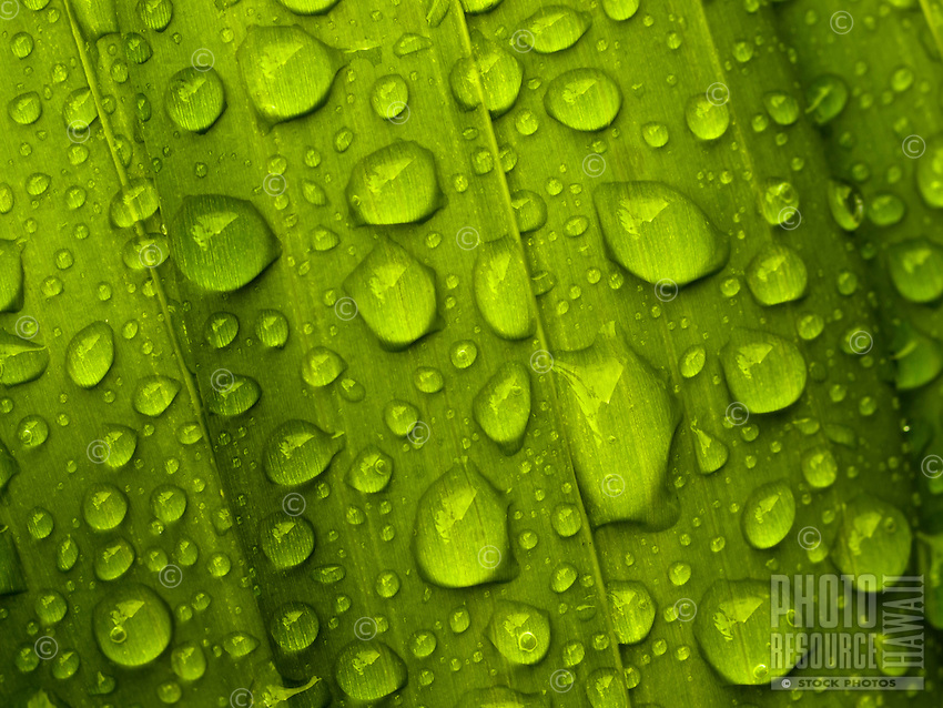 A close-up of rain drops on palm leaves in a garden in Hawai'i.