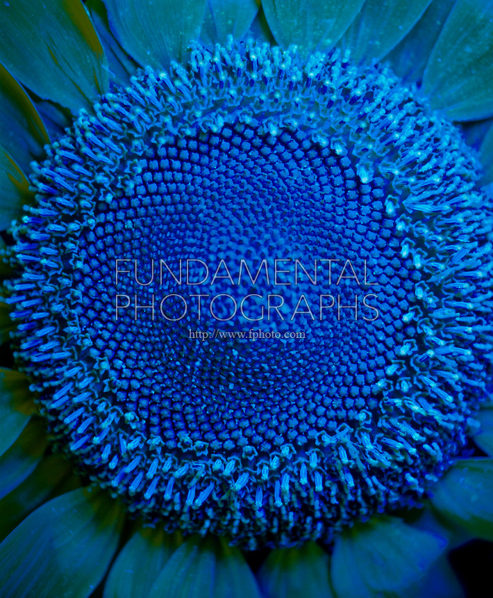 SUNFLOWER - Under UV Light<br />
