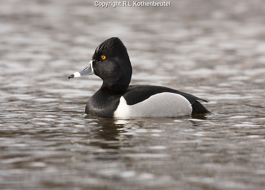 A male ring-necked duck swims in quiet water<br />
