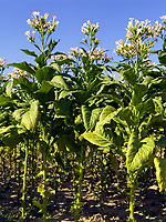 Italien, Umbrien, Tabakanbau in Umbrien   Italy, Umbria, tabacco growing at Umbria