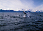 A humpback whale breaches the water in Frederick Sound, Alaska.