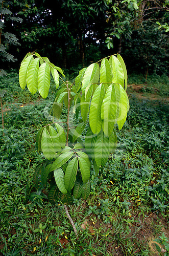 Amazon, Brazil. Medicinal plant; Andiroba (Carapa guianensis), medicinal plant for skin, fever, intestinal worms.
