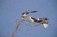 White-tailed Kite, Elanus leucurus, young, Cameron County, Rio Grande Valley, Texas, USA