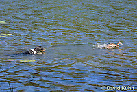0222-1203  Tri-Colored English Springer Spaniel Hunting Dog Swimming in Water  © David Kuhn/Dwight Kuhn Photography