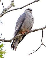 Mississippi kite adult