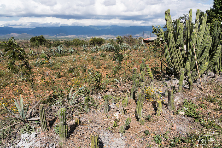 Cacti and maguey, looking across the valley of Tlacolula from San Marcos Tlapazola, near Oaxaca, Mexico.