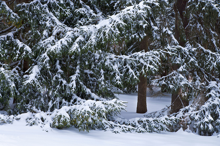 Winter morning light on snow-covered conifers at The Morton Arboretum; Lisle, IL
