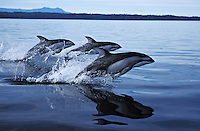 nb44. Pacific White-sided Dolphin (Lagenorhynchus obliquidens) leaping. British Columbia, Canada, Pacific Ocean..Photo Copyright © Brandon Cole.  All rights reserved worldwide.  www.brandoncole.com..This photo is NOT free. It is NOT in the public domain...Rights to reproduction of photograph granted only upon payment of invoice in full.  Any use whatsoever prior to such payment will be considered an infringement of copyright...Brandon Cole.Marine Photography.http://www.brandoncole.com.email: brandoncole@msn.com.4917 N. Boeing Rd..Spokane Valley, WA 99206   USA..tel: 509-535-3489