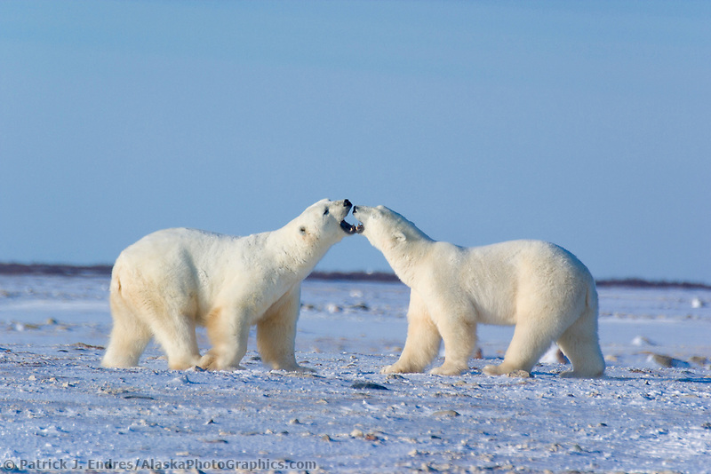 Male Polar bears play fighting, Hudson Bay, Churchill, Manitoba, CANADA