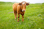 Brown bullock with horns on machair grassland grazing, Vatersay Island, Barra, Outer Hebrides, Scotland, UK