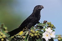 Groove-billed Ani, Crotophaga sulcirostris, adult on Mexican Olive Tree, The Inn at Chachalaca Bend, Cameron County, Rio Grande Valley, Texas, USA