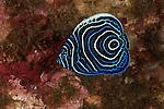 Juvenile emperor angelfish (Pomacanthus imperator)