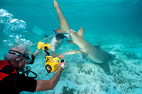 Stan Waterman films as research volunteer Bob Jureit delivers pup from pregnant lemon shark, Negaprion brevirostris, captured in U. Miami research, Bahamas, Caribbean Sea, Atlantic Ocean