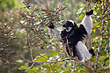 Indri {Indri indri} feeding in tropical rainforest, Andasibe-Mantadia National Park, Madagascar. IUCN Endangered Species.